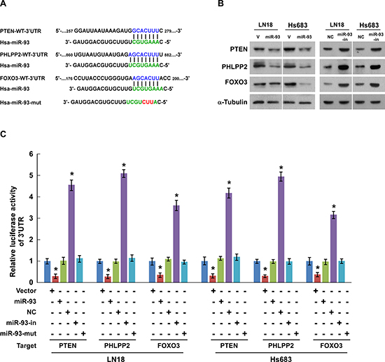 PTEN, PHLPP2, and FOXO3 are direct targets of miR-93 in glioma cells.