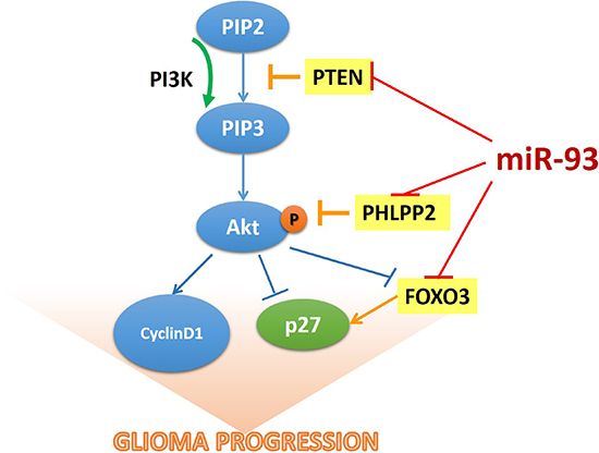 The model of miR-93-mediated PI3K/Akt signaling activation via down-regulation of PTEN, PHLPP2 and FOXO3 that results in the promotion of cell proliferation in gliomas.