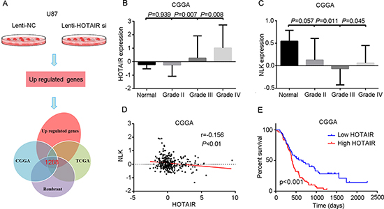 High levels of HOTAIR correlate with NLK expression and confer a poor prognosis in GBM patients.