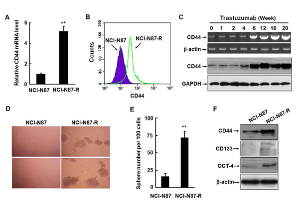 Trastuzumab resistant gastric cancer cells acquire the phenotype of cancer stem-like cells.