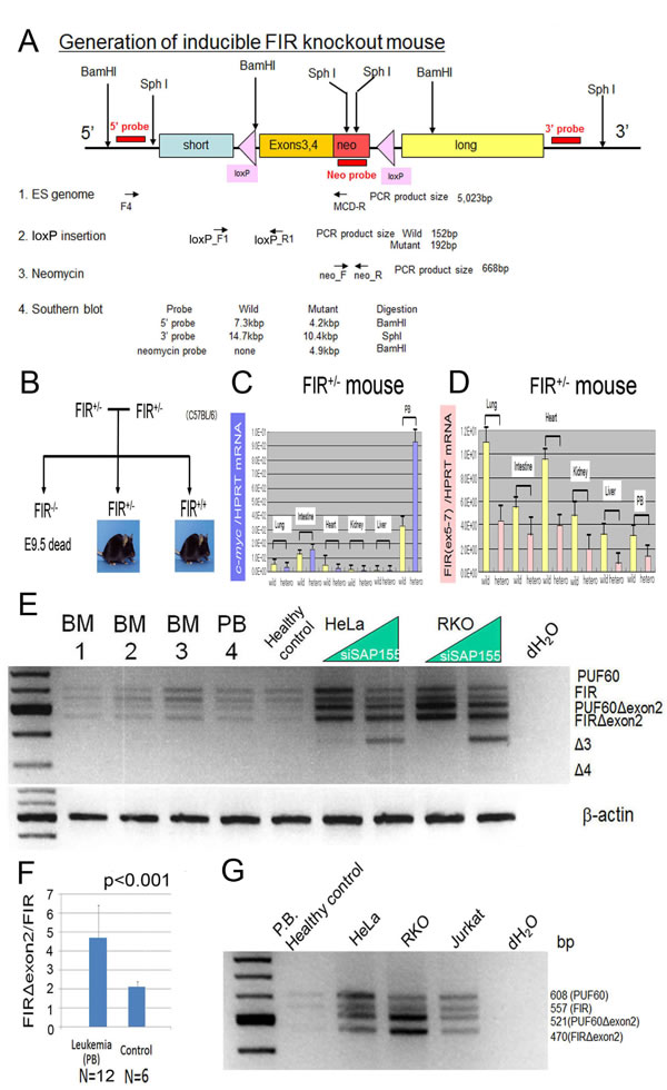 c-Myc mRNA was activated in the peripheral blood cells of inducible FIR heterozygous knockout mouse and FIR/IRΔexon2 mRNA expression in human clinical leukemia/malignant lymphoma samples.