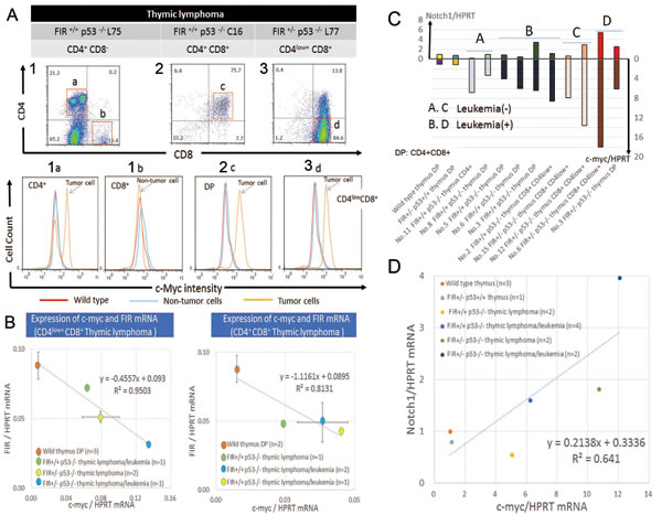 c-Myc protein is enhanced and showed inverse correlation with FIR in thymic lymphoma cells and promotes bone marrow invasion.