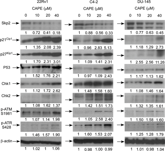 CAPE treatment affected abundance of proteins involved in cell cycle regulation and DNA damage checkpoint in CRPC cells.
