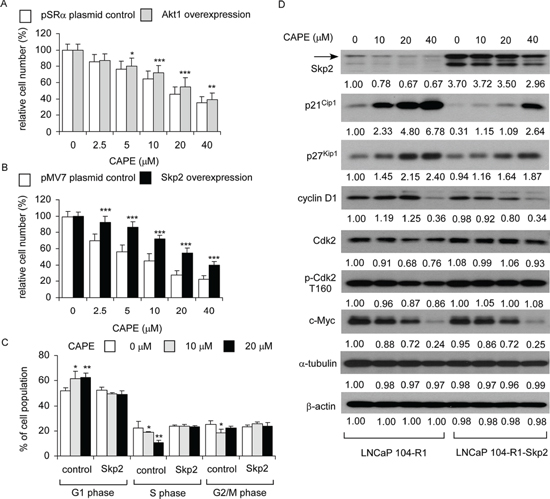Over-expression of Skp2 blocked the suppressive effect of CAPE on proliferation of LNCaP 104-R1 cells.