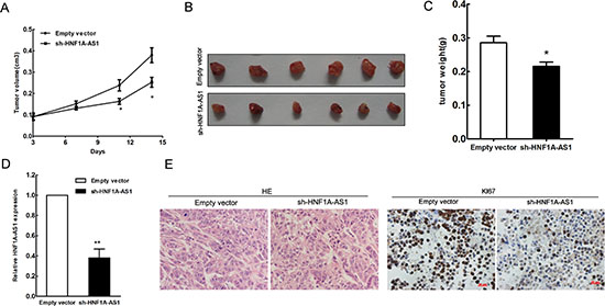 HNF1A-AS1 inhibits tumor growth in vivo.