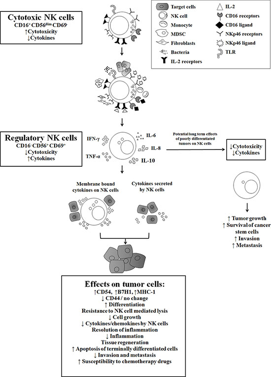Hypothetical model of induction of anergized/regulatory NK cells in oral microenvironment by immune inflammatory cells and by the effectors of connective tissue to support differentiation of cancer stem cells resulting in their resistance to NK cell mediated cytotoxicity.