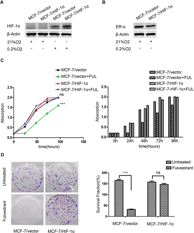 Stable over-expression of HIF-1α decreases the sensitivity of breast cancer cells to fulvestrant.