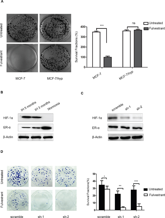 Knockdown of HIF-1α expression in intermittent hypoxic cells sensitizes breast cancer cells to fulvestrant.