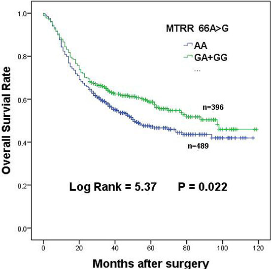 Overall survival of MTRR 66A > G dominant genotypes in gastric cancer patients.