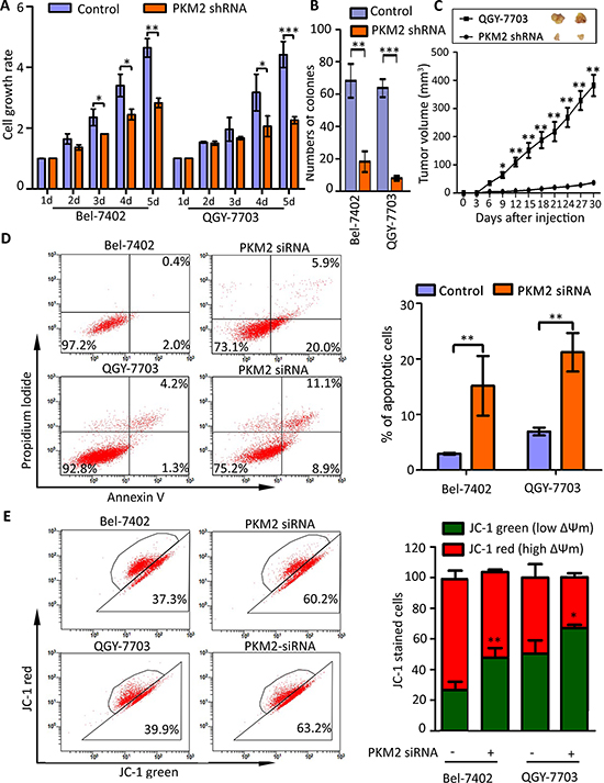 PKM2 knockdown inhibits cell proliferation and induces apoptosis.