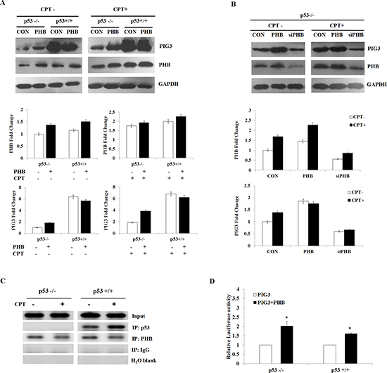 PHB regulates PIG3-mediated apoptosis in a p53-depentent or -independent manner.