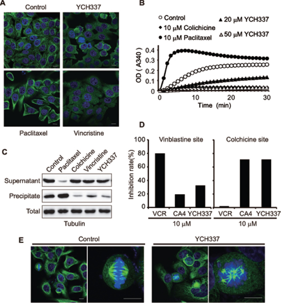 YCH337 inhibits microtubule polymerization by binding to the colchicine site and disrupts spindle assembly.