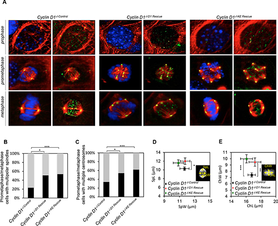 Cyclin D1 induction of centrosome amplification and mitotic spindle disorganization is independent of cyclin D1 kinase activity.