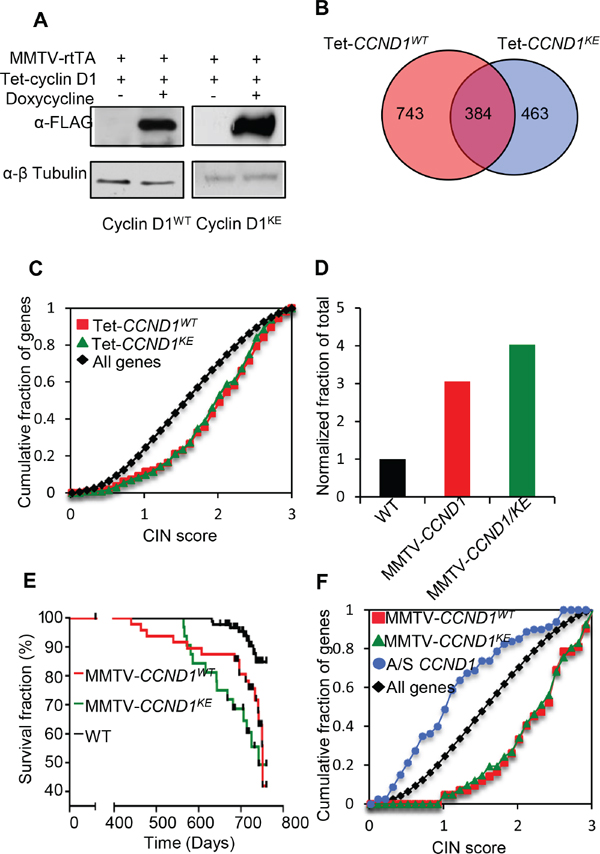 Cyclin D1 induces CIN genes in vivo and mouse mammary tumorigenesis independent of its kinase activity.