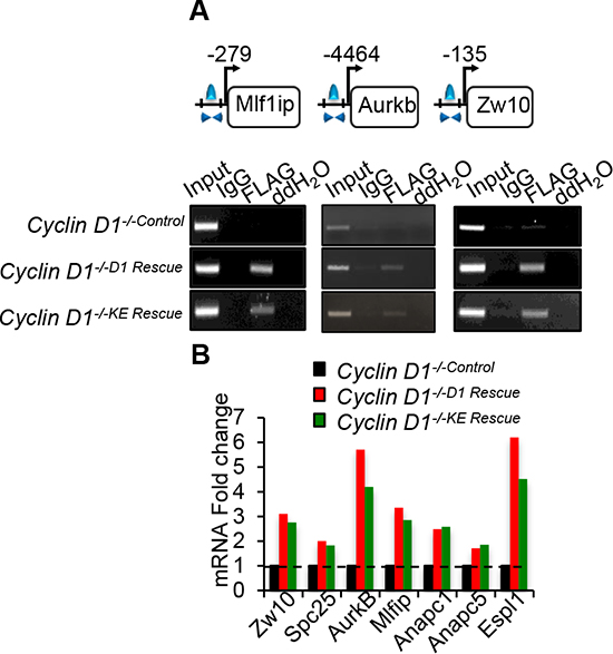 Cyclin D1WT and cyclin D1KE associate with and promotes expression of genes involved in mitosis.