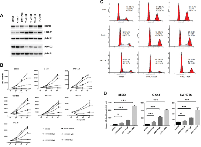 CUDC-101 inhibits ATC cell proliferation, and induces cell cycle arrest and apoptosis.