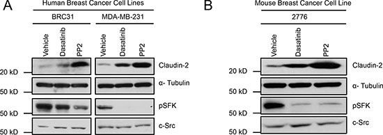 Inhibition of Src family kinases (SFK) enhances Claudin-2 expression in breast cancer cells.