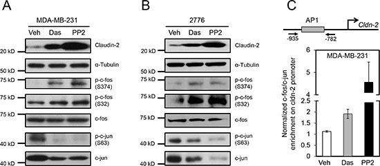 Differential phosphorylation and recruitment of c-Fos containing complexes to the AP1 site of the Claudin-2 promoter are associated with the changes in Claudin-2 expression following treatment with c-Src family kinase (SFK) inhibitors.