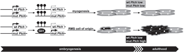 Mechanism of RMS formation in heterozygous Ptch mice.