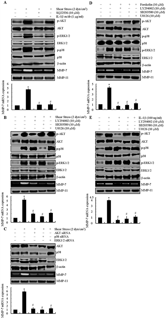 Involvement of cAMP and IL-1β in mediating fluid shear stress to regulate the synthesis of MMP-7 via AKT, ERK1/2 and p38 signaling pathways in SW1353 cells.