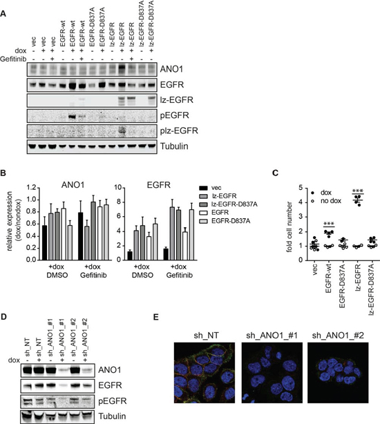 EGFR and ANO1 regulate each other's protein levels.