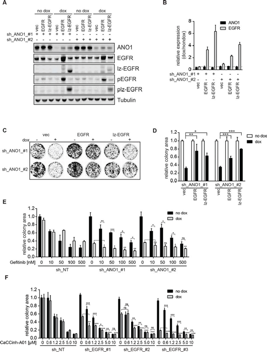 EGFR and ANO1 form a functional complex which regulates cancer cell proliferation.