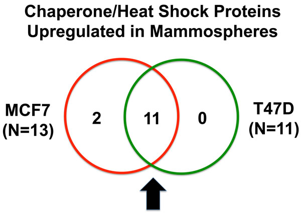 Venn diagram highlighting the conserved upregulation of heat shock proteins/molecular chaperones in both MCF7 and T47D mammospheres.