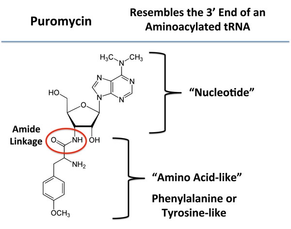 Puromycin: Structure and key features.