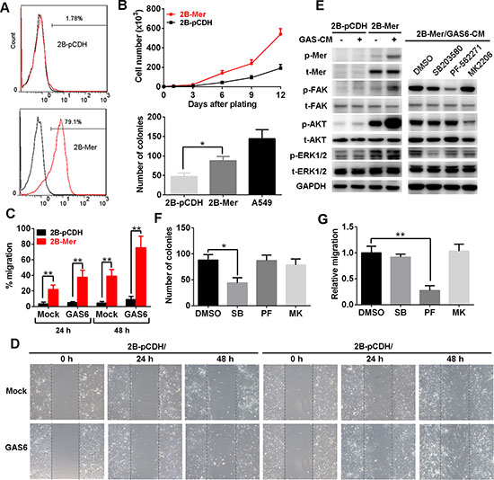 Mer overexpression promotes the proliferation and migration of normal lung epithelial cells.