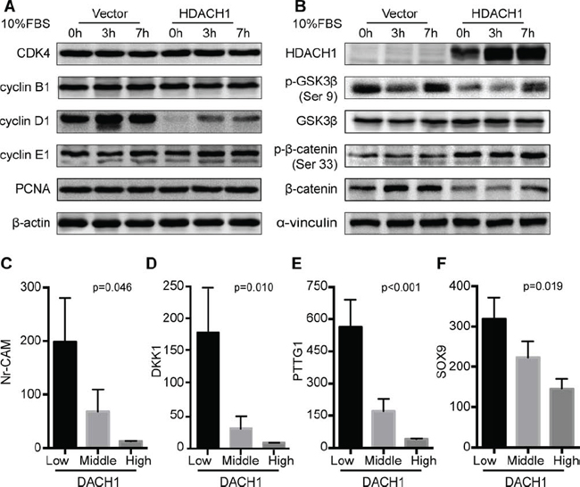 DACH1 suppresses the activation of Wnt/β-catenin signaling.
