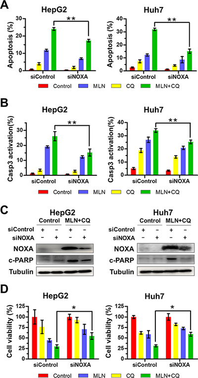 Down-regulation of NOXA significantly attenuates apoptosis and inhibition of liver-cancer-cell proliferation induced by MLN4924+CQ.