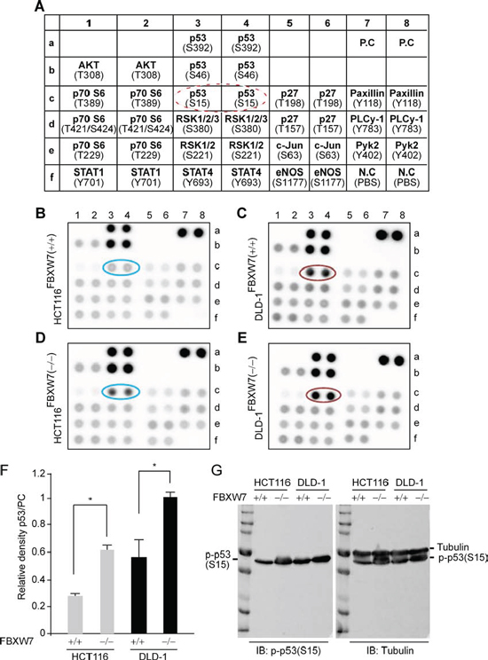 Human phospho-kinase-profiler-array (HPKPA) revealed induction of phospho-p53(Ser15) in FBXW7-null human CRC cells [FBXW7(−/−) vs. FBXW7(+/+)].