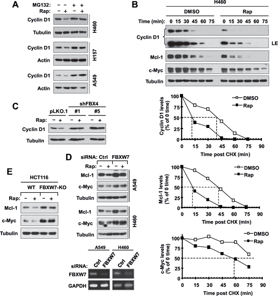 Rapamycin decreases the levels of cyclin D1, c-Myc and Mcl-1 through facilitating their degradation (A and B), which is mediated by either FBX4 (C) or FBXW7 (D and E).