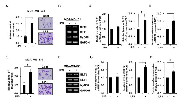 LPS enhances the invasive potential and BLT2 expression in MDA-MB-231 and MDA-MB-435 cells.