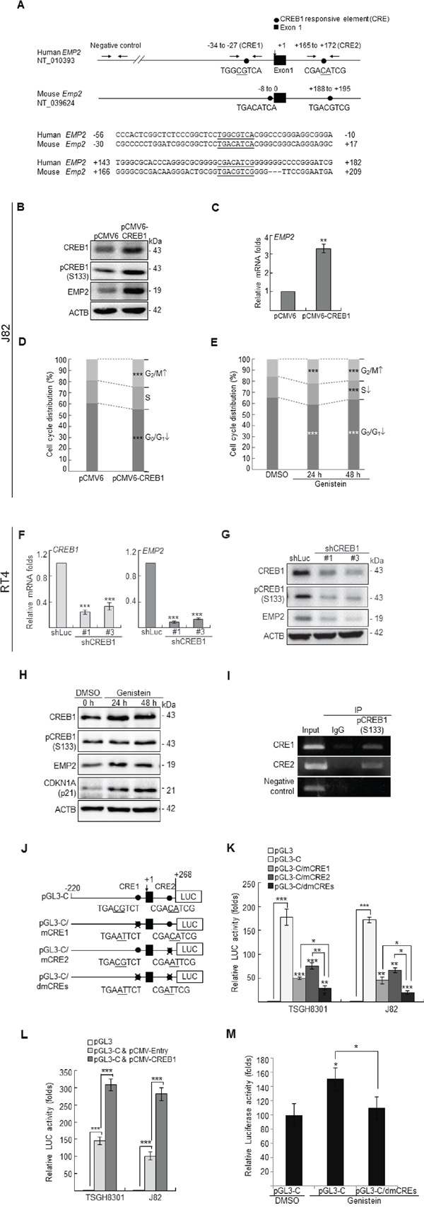 Genistein upregulated CREB1 and pCREB1(S133) protein levels, and pCREB1(Ser133) transactivates EMP2 gene in UBUC-derived cells.