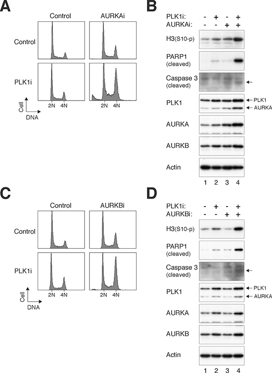 PLK1i cooperates with Aurora kinase inhibitors to induce mitotic catastrophe.