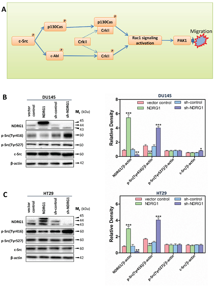 Schematic diagram illustrating the c-Src signaling pathway assessed herein (A) and immunoblots revealed that NDRG1 expression inhibited c-Src phosphorylation (Tyr416) in DU145 cells (B) and HT29 cells (C).