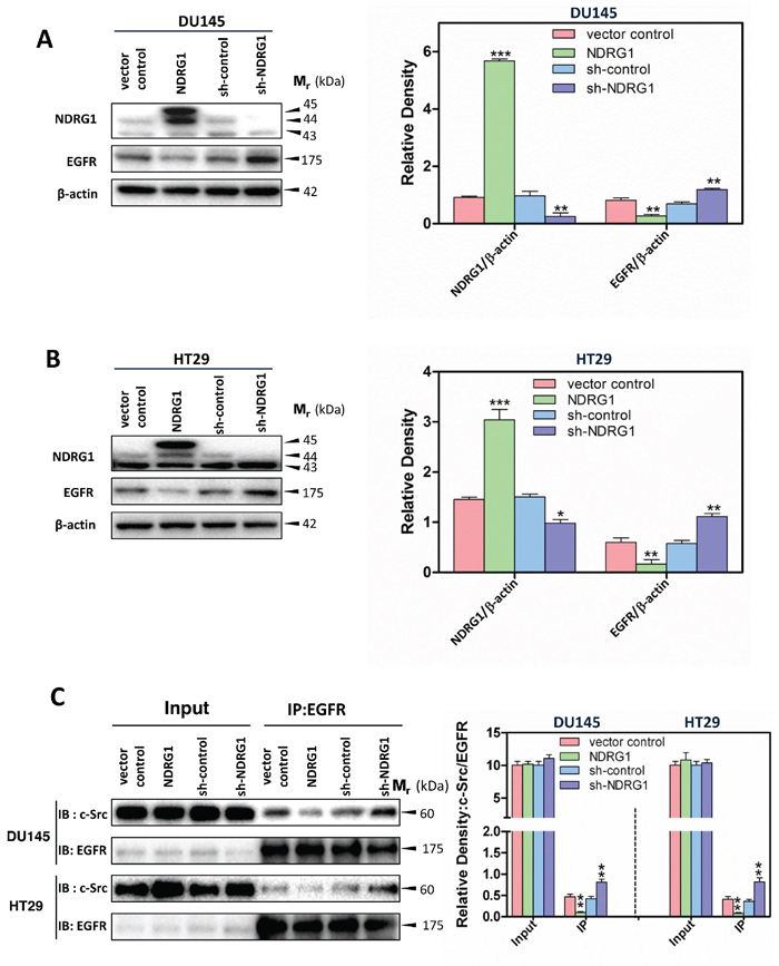 NDRG1 decreased EGFR expression and c-Src binding to EGFR.