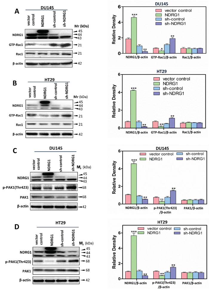 NDRG1 suppressed Rac1 activity and its downstream effector PAK1.