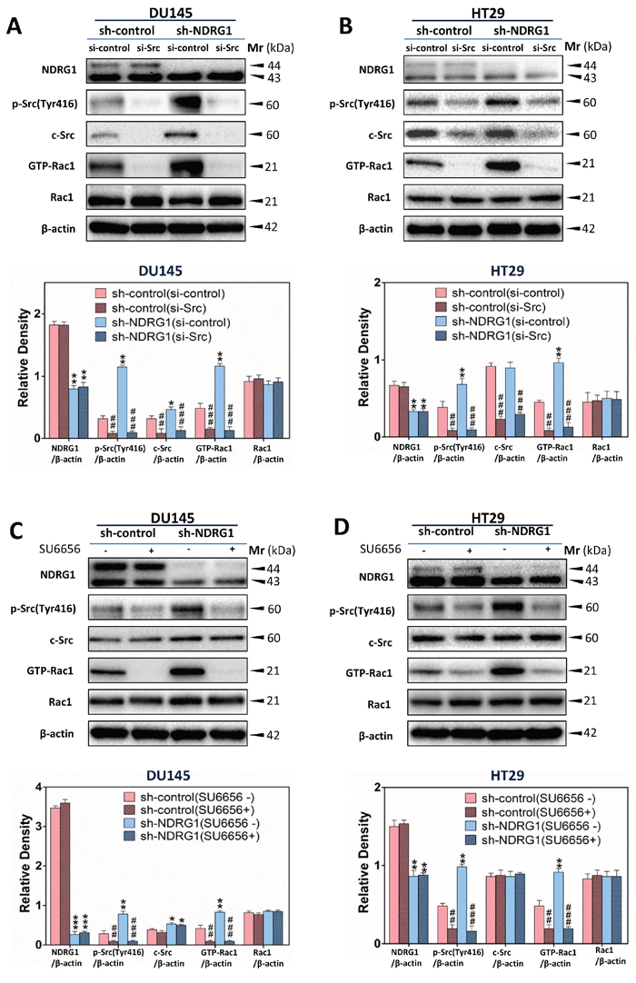 NDRG1 inhibited Rac1 activation in a c-Src-dependent manner.