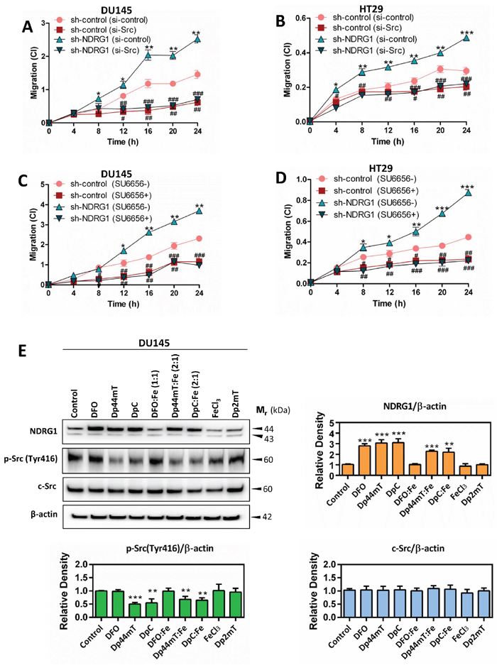 NDRG1 decreases cancer cell migration in a c-Src-dependent manner (A–D) Dp44mT and DpC increase NDRG1 expression and also decrease activation of c-Src (E).