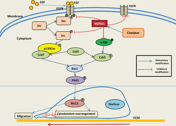 Schematic illustration summarizing the EGFR-c-Src-Rac1 pathway and the inhibitory effect of NDRG1 on cell migration as demonstrated in this investigation.