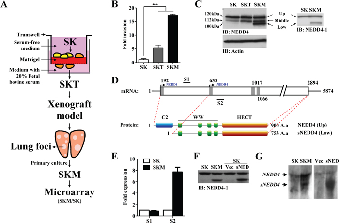 Generation of potent metastatic cell lines, SKT and SKM, and identifying metastatic-associated gene, sNEDD4.