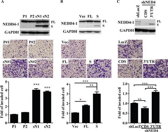sNEDD4 promotes tumor cell invasion in vitro.