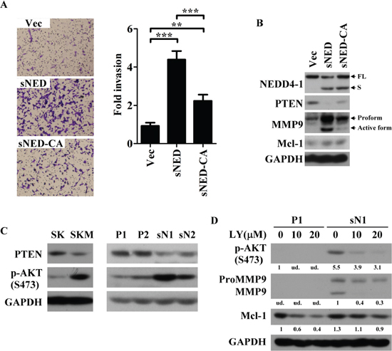 E3 activity is critical for sNEDD4 function.