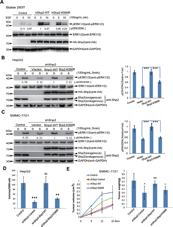 Shp2K590R downregulates ERK signaling, anchorage-independent growth and tumorigenesis.