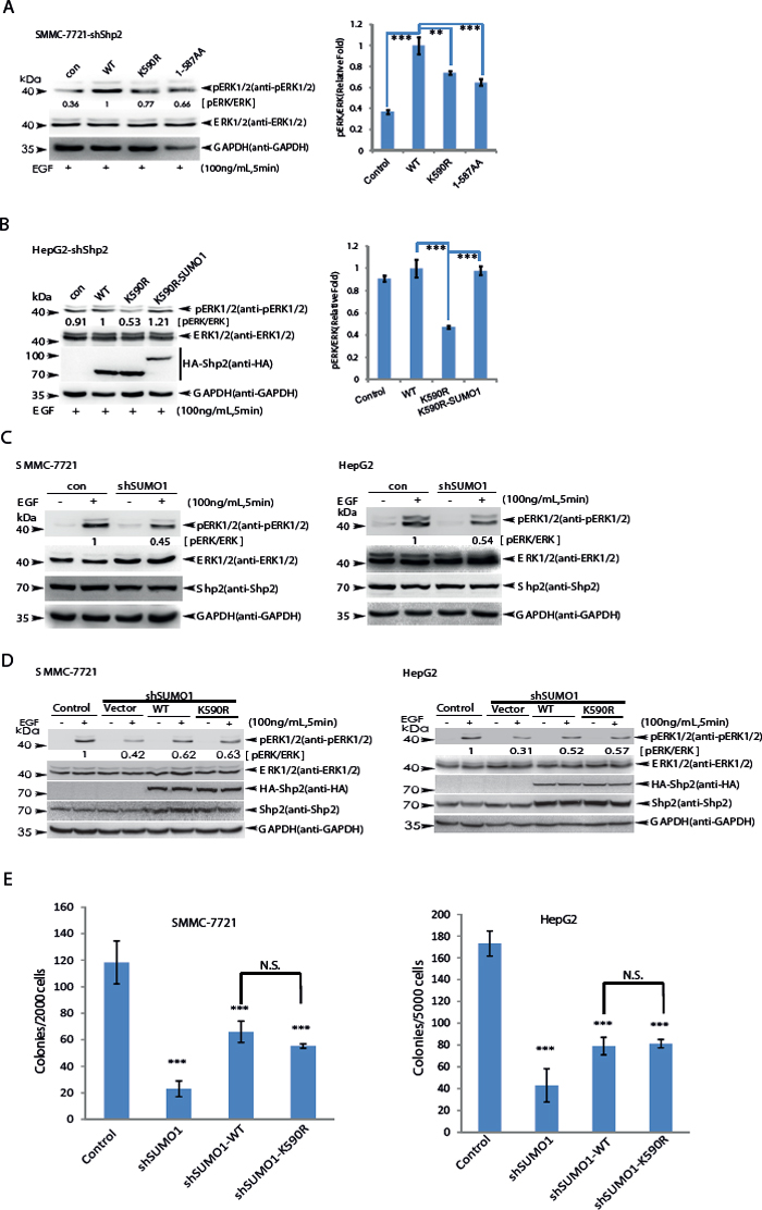 SUMOylation of K590 at Shp2 promotes ERK activation.