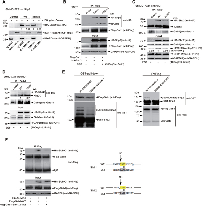 SUMOyaltion of Shp2 promotes ERK activation by controlling its association with Gab1.