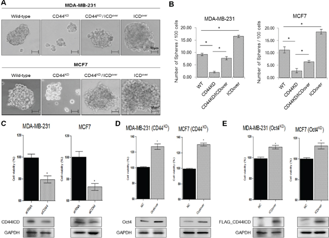 Overexpression of CD44ICD in the absence of CD44 increases the ability of mamosphere formation in breast cancer cells.