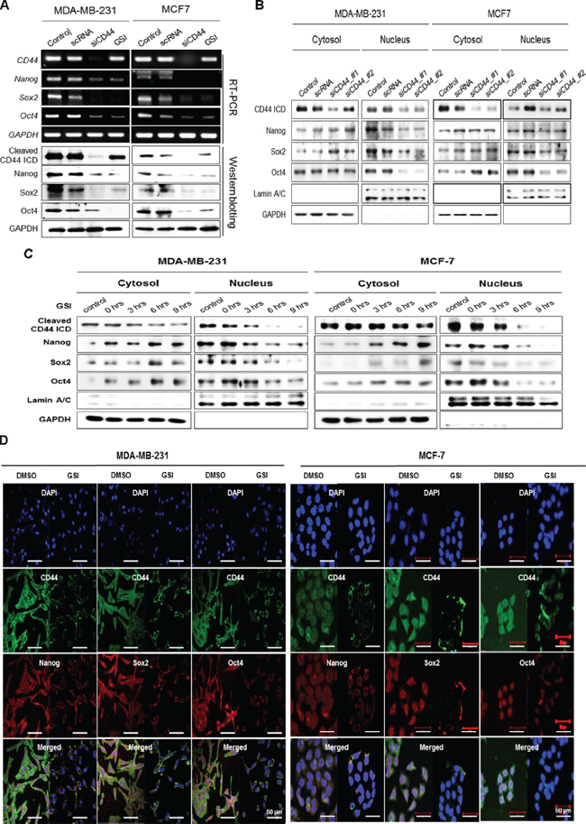 CD44-depletion reduces both the expression and nuclear localization of the stemness factors, Nanog, Sox2, and Oct4.